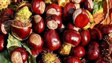 Can Dogs Eat Chestnuts? Are Chestnuts Good For Dogs?